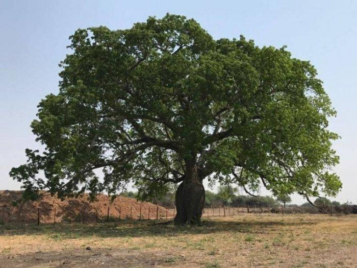 ambientalistas-pelean-para-que-se-respete-la-naturaleza-que-se-encuentra-en-zonas-chaquenas-por-ejemplo-este-imponente-samuu-ubicado-en-loma_764_573_1631061