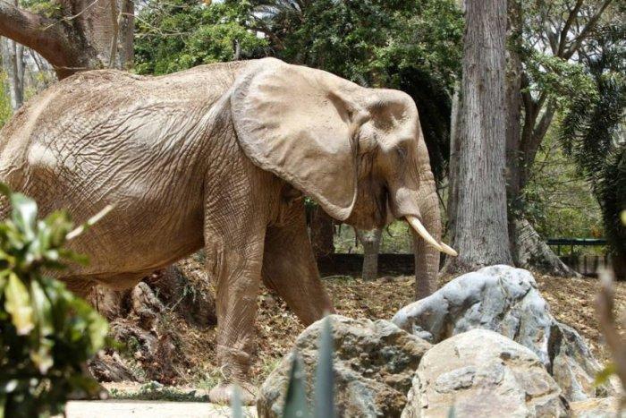 elefante-ruperta-icono-de-la-lucha-en-venezuela-_858_573_1634514