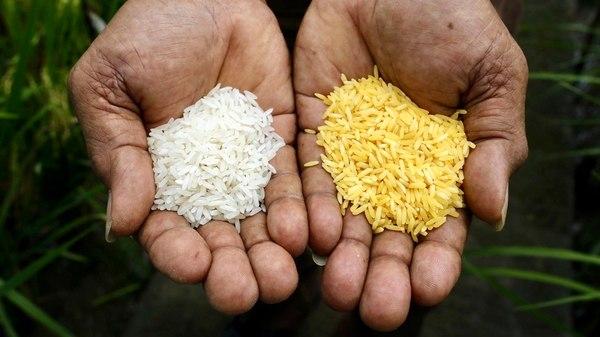 gmo-arroz
