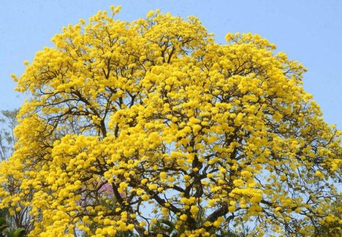 este-tajy-cubierto-en-flor-amarillo-en-contraste-con-el-cielo-como-un-cuadro-vivo-fue-retratado-por-las-camaras-esta-ubicado-sobre-las-cal_826_573_16650371